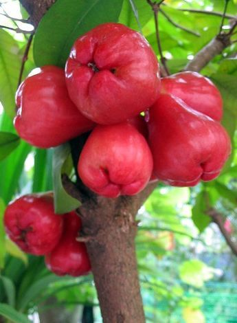 Picture Of Rose Apple Fruit