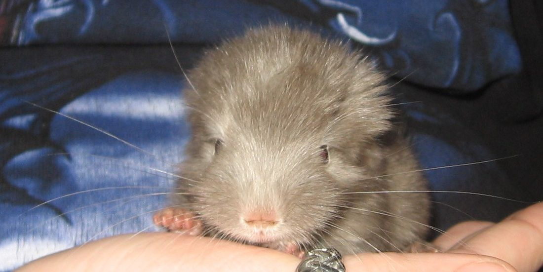 Tan Baby Chinchilla Animals For Kids Chinchilla Pets