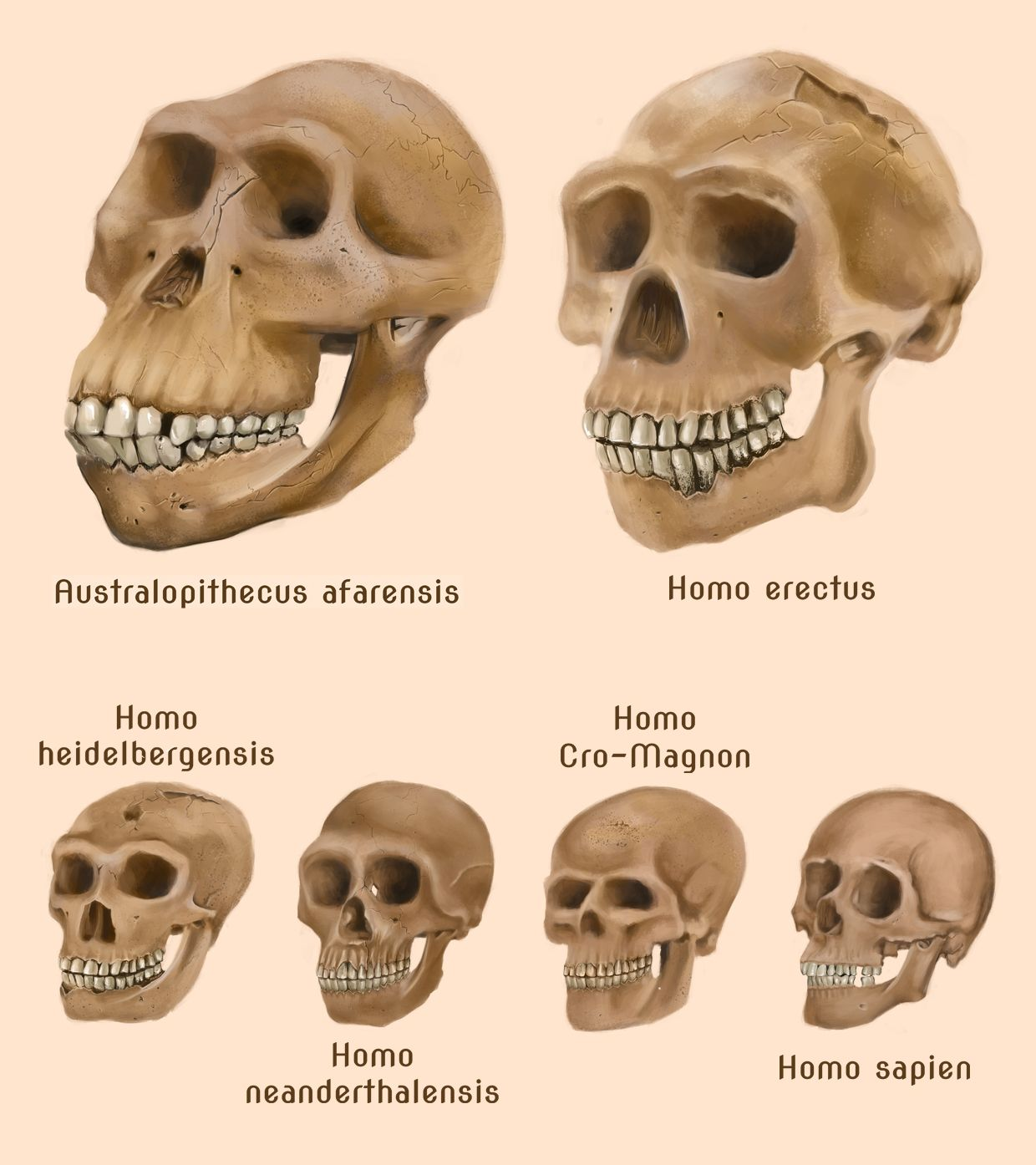 Image result for chart of hominid evolution