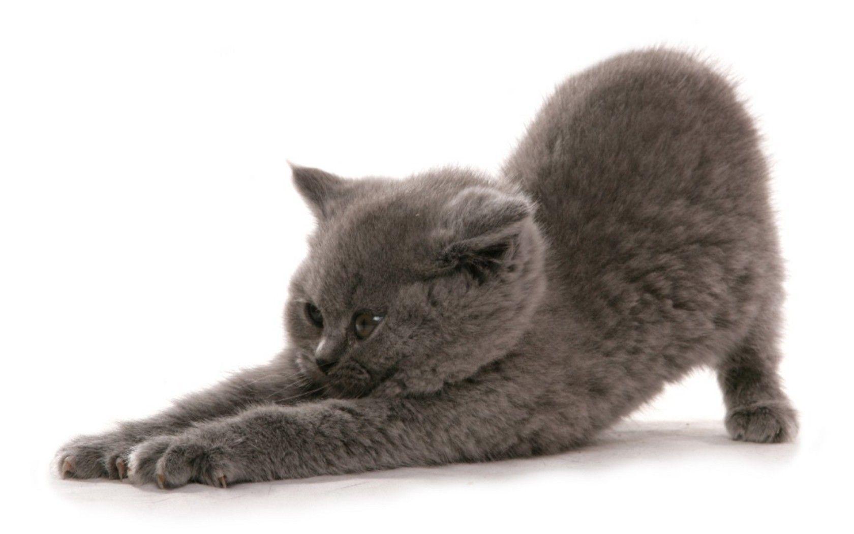Funny British Shorthair Kitten Photo And Wallpaper Beautiful