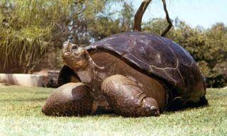 """""""O GRITO DO BICHO"""": Aos 150 anos morre Speed a tartaruga dos Gálapagos..."""