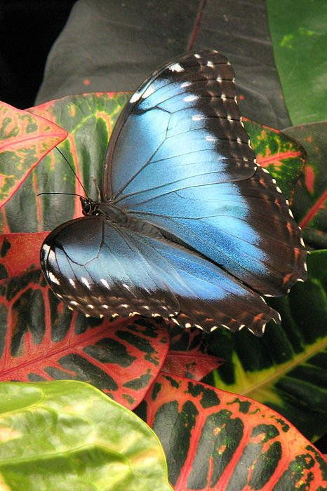 Blue Morpho By Frank Townsley