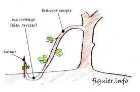 comment marcotter une plante. #dentelaire du cap