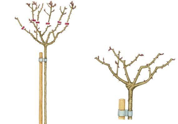 rosen schneiden in 4 schritten rosen schneiden. Black Bedroom Furniture Sets. Home Design Ideas