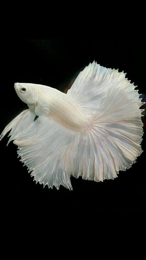 Albino Betta Fish Picture 11 Of 20 For Free Cell Phone Wallpaper Downloads Betta Fish Betta Cellphone Wallpaper