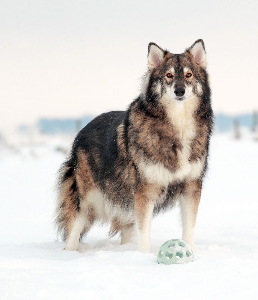 Utonagan A Breed Of Dog That Resembles A Wolf But In Fact Is A