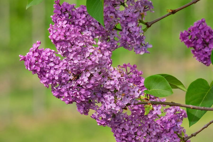 Growing Lilacs Planting Caring For Lilac Bushes Lilac Bushes Lilac Plant Lilac Tree