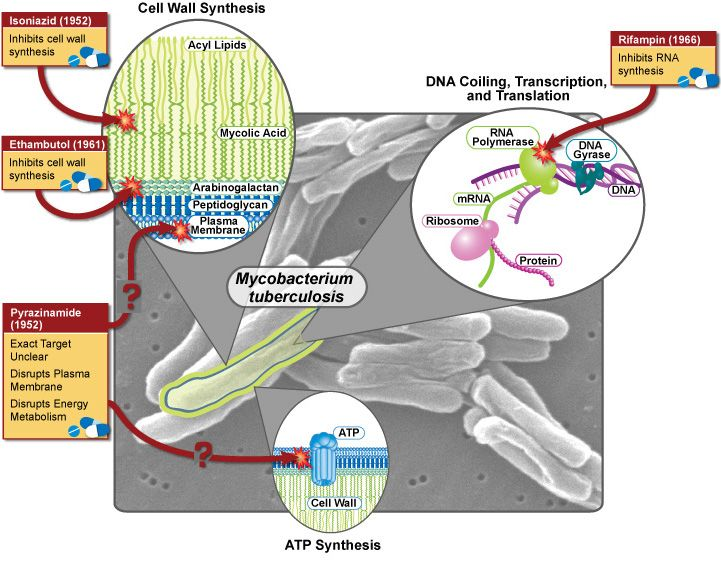 Mycobacterium Tuberculosis The Pathogen Bacterium That Is With Us