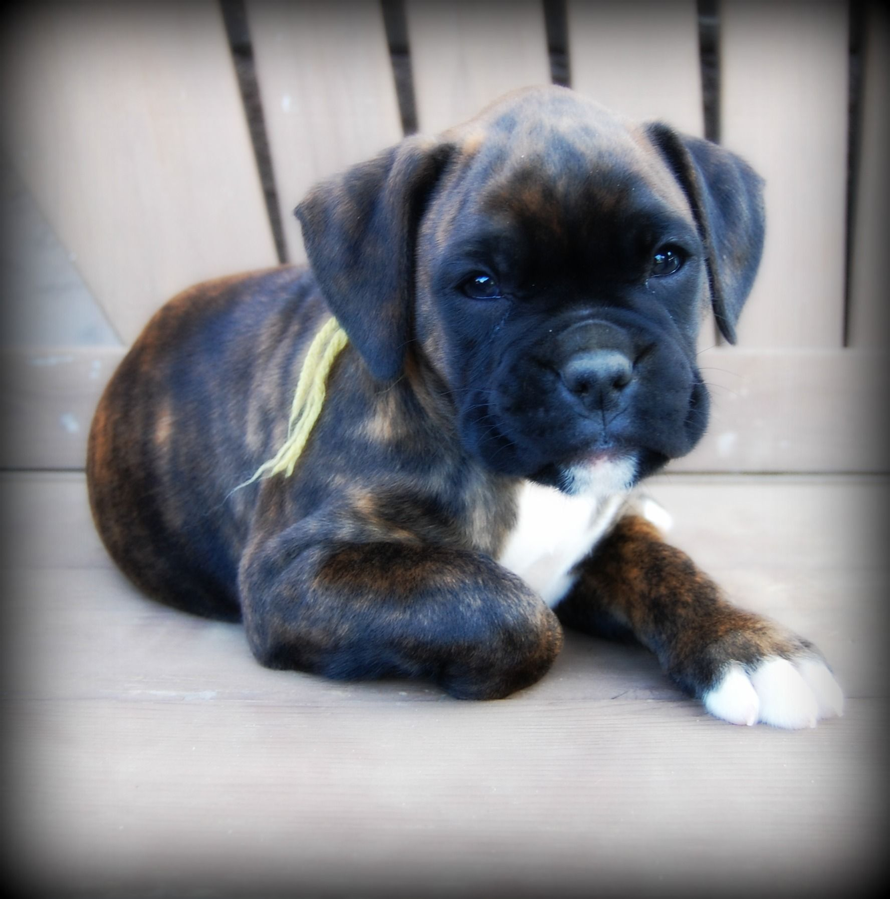 Ronan 7 weeks SOLD Boxer dogs, Boxer, Boxer puppies