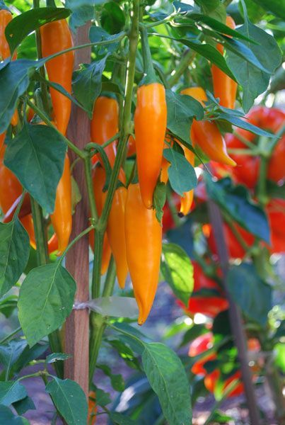 'Bulgarian Carrot' Peppers: