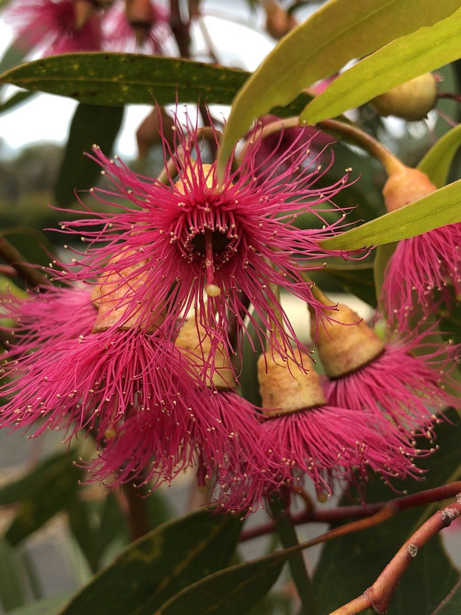 Flowers Of The Ghost Gum Eucalyptus Pauciflora It Is A Shame