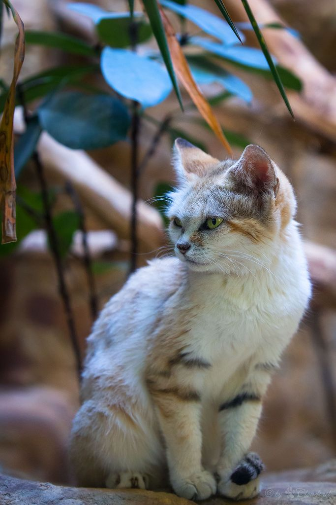 """magicalnaturetour: """" Sand cat by Cloudtail the Snow Leopard A picture, I've made at Zoo Berlin. http://flic.kr/p/GGXkTd """""""
