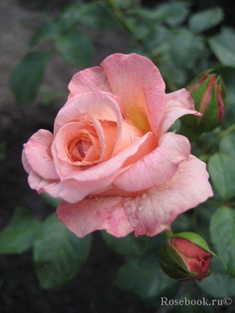 роза консул фото розебук порекомендуем, как правильно