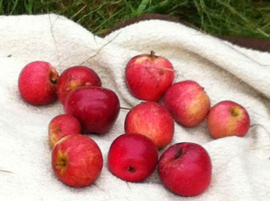 Äpfel auf der Streuobstwiese