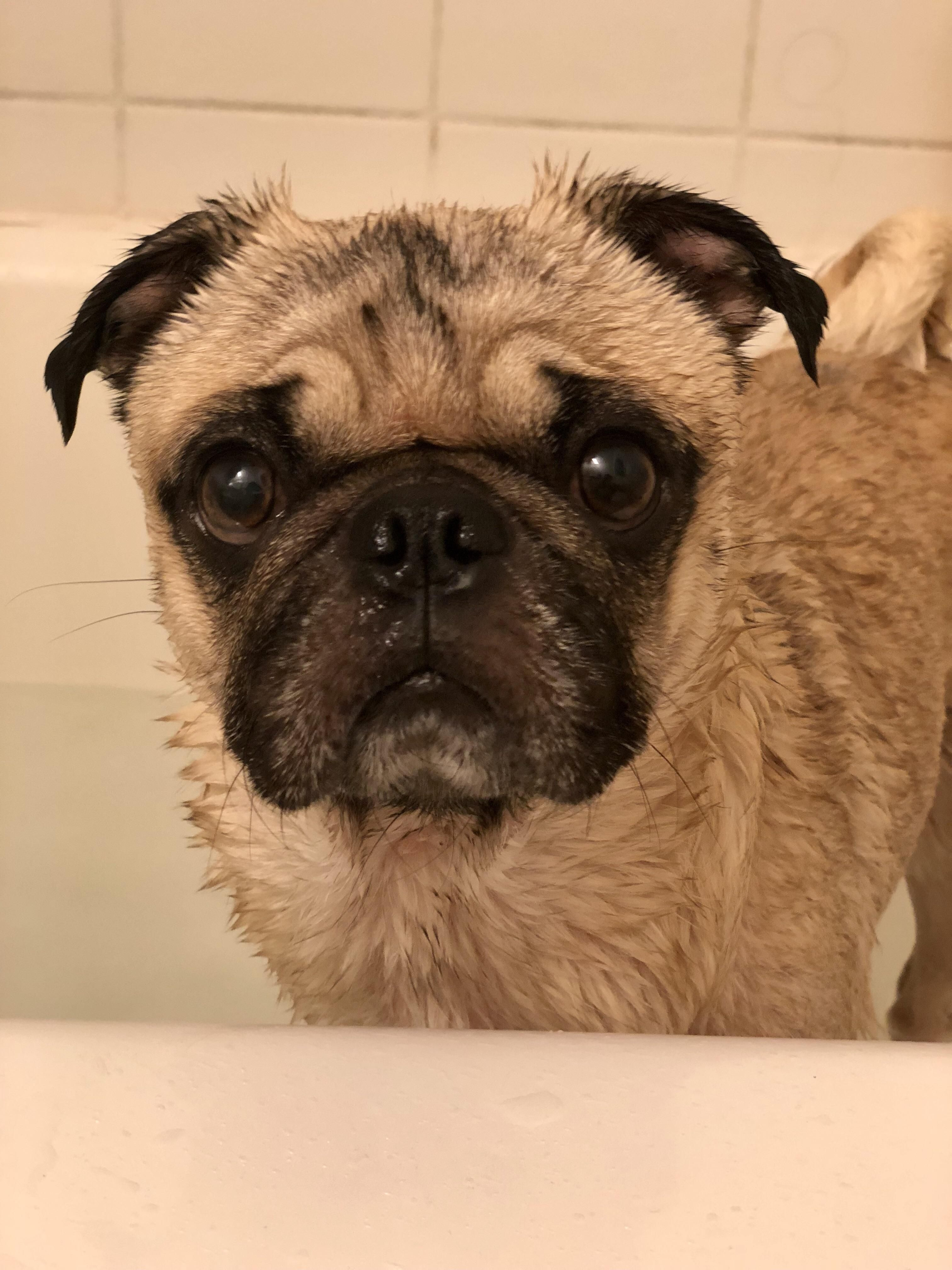 Pin By Dennis Green On Pug Funny Pugs Cute Puppies Puppies