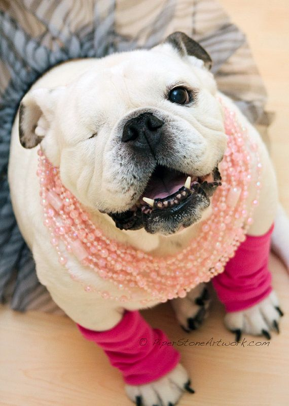 Sassy English Bulldog Photo featured in LIFE by PiperStoneArtwork. $8.00   Cute animals. Bulldog puppies. Cute dogs