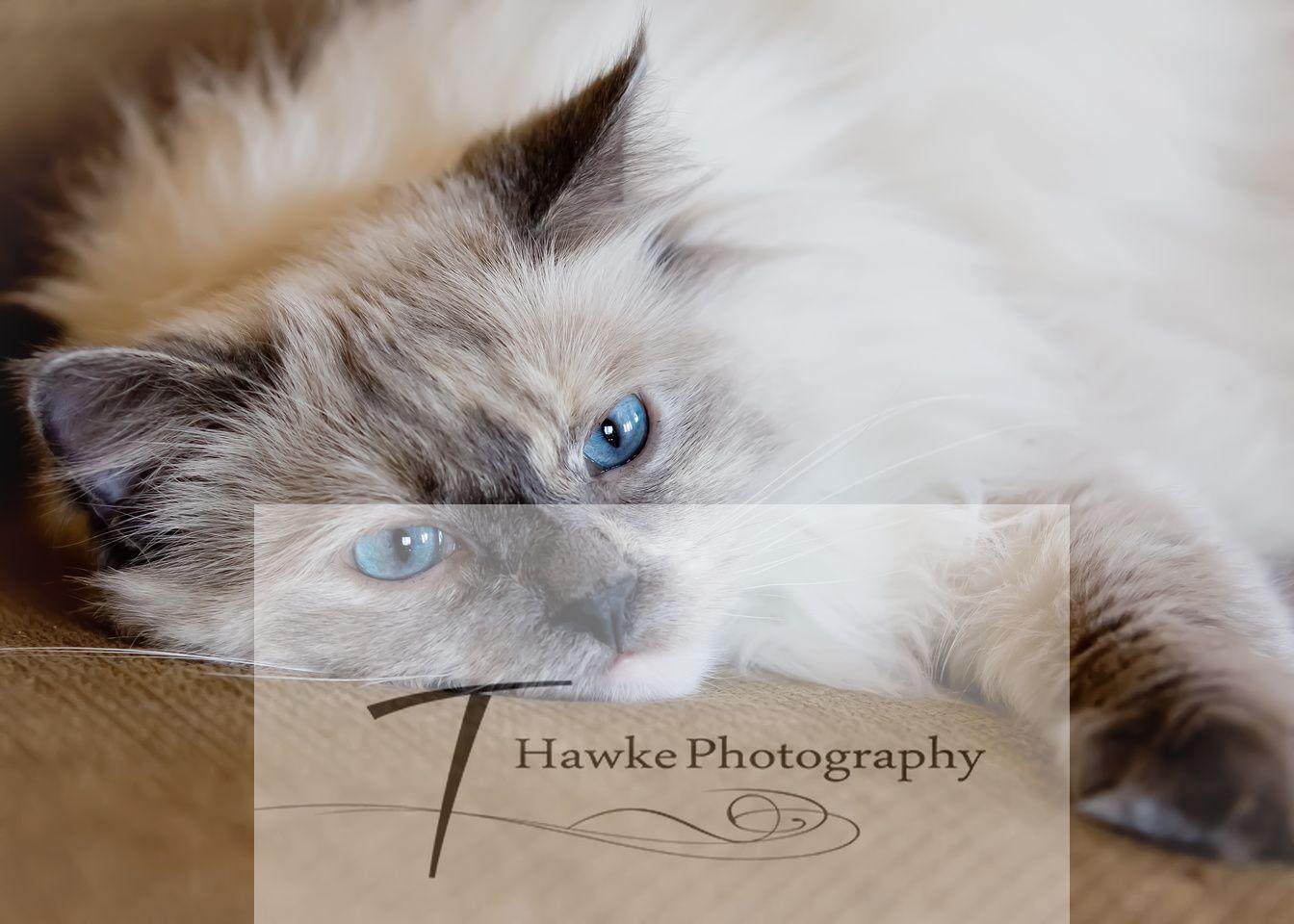 Cat Posing, Pet Photography