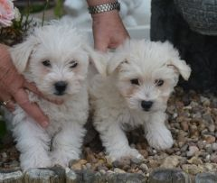 Stunning Little Weechon Babies Puppies For Sale West Highland White Terrier Puppies For Sale Puppies For Sale Puppies For Sale Puppies Baby Puppies For Sale