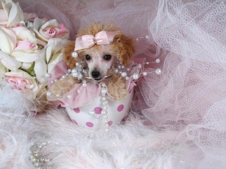Precious The Teacup Poodle Puppy Teacup Poodle Puppies Poodle Puppies For Sale Cute Little Puppies