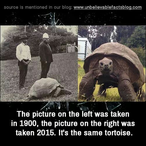 From 1900 to 2015 this tortoise is still going strong ...