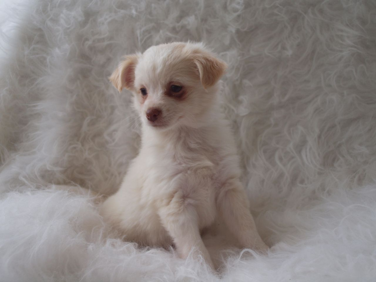 Lhasa Apso Chihuahua Mix Miniature Bull Terrier Chihuahua Mix Pets