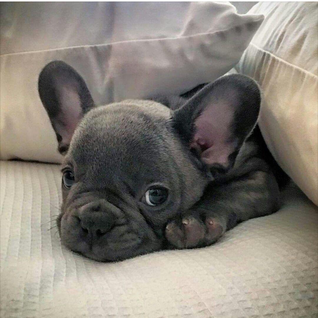 Good Morning America French Bulldog : French bulldog playful and smart blue