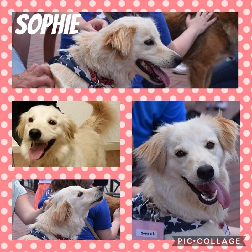 Golden Retriever Mix Dog For Adoption In Fort Worth Tx Usa