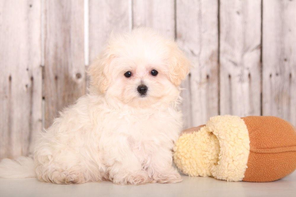 Maltipoo puppies for sale puppies online oh maltipoo