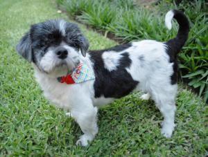 Adopt Posh Spice Barker On Shih Tzu Dog Shih Tzu Dogs