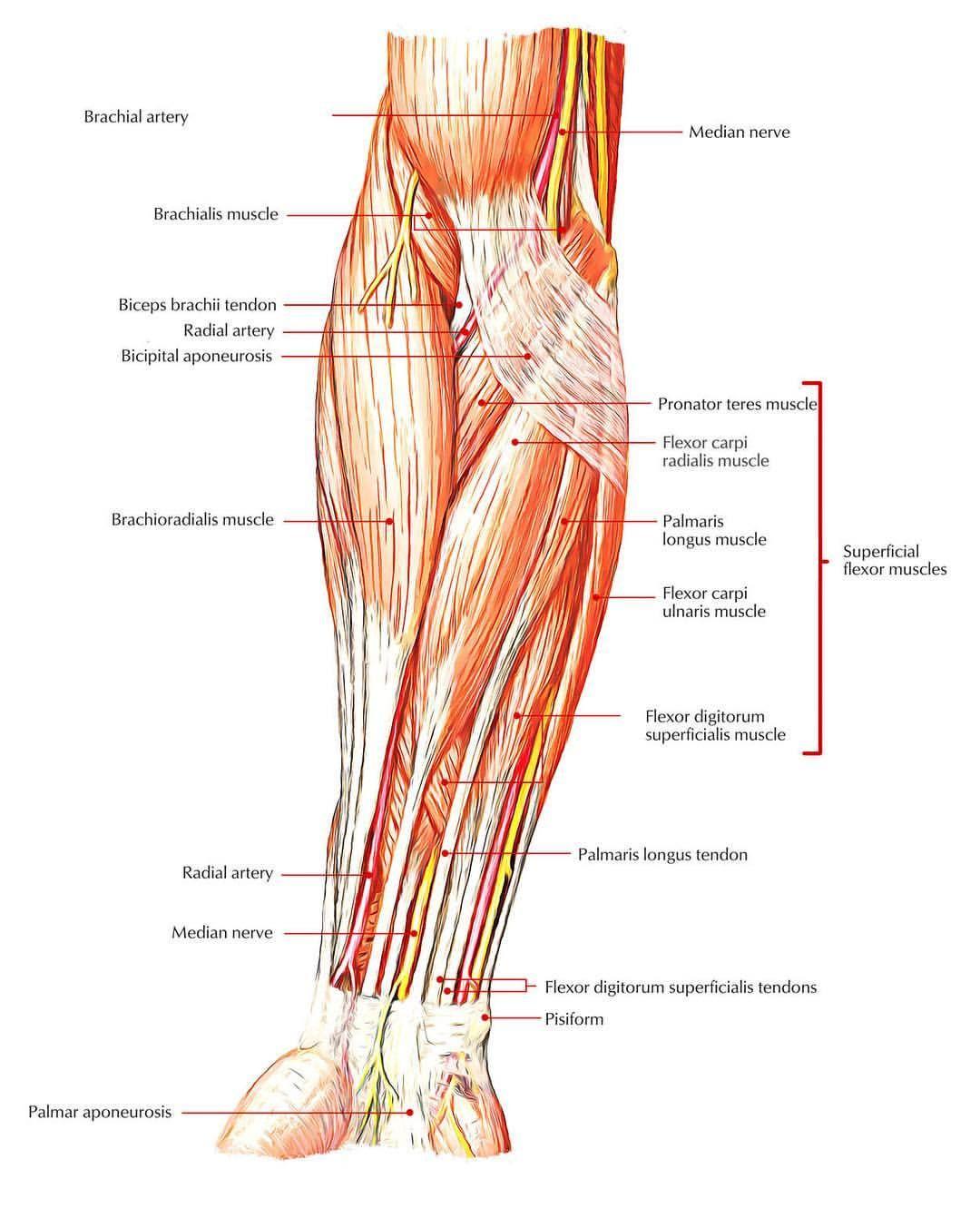 The Flexor Carpi Ulnaris And Pronator Teres Muscles