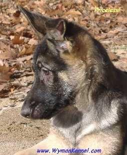 Wyman Kennels German Shepherds For Sale Midland Michigan