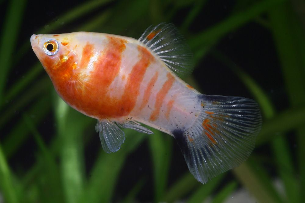 Platy Fish Google Search Ikan Akuarium Ikan Air Tawar Ikan