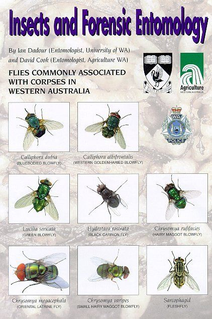 Flies Western Australia Forensics Forensic Science Forensic Anthropology