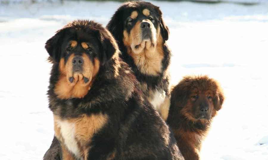 caucasian shepherd dog: Caucasian Shepherd Dog vs Tibetan ...