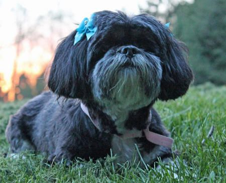 Lizzy The Lhasa Apso Lhasa Apso Cute Cats And Dogs Lhasa