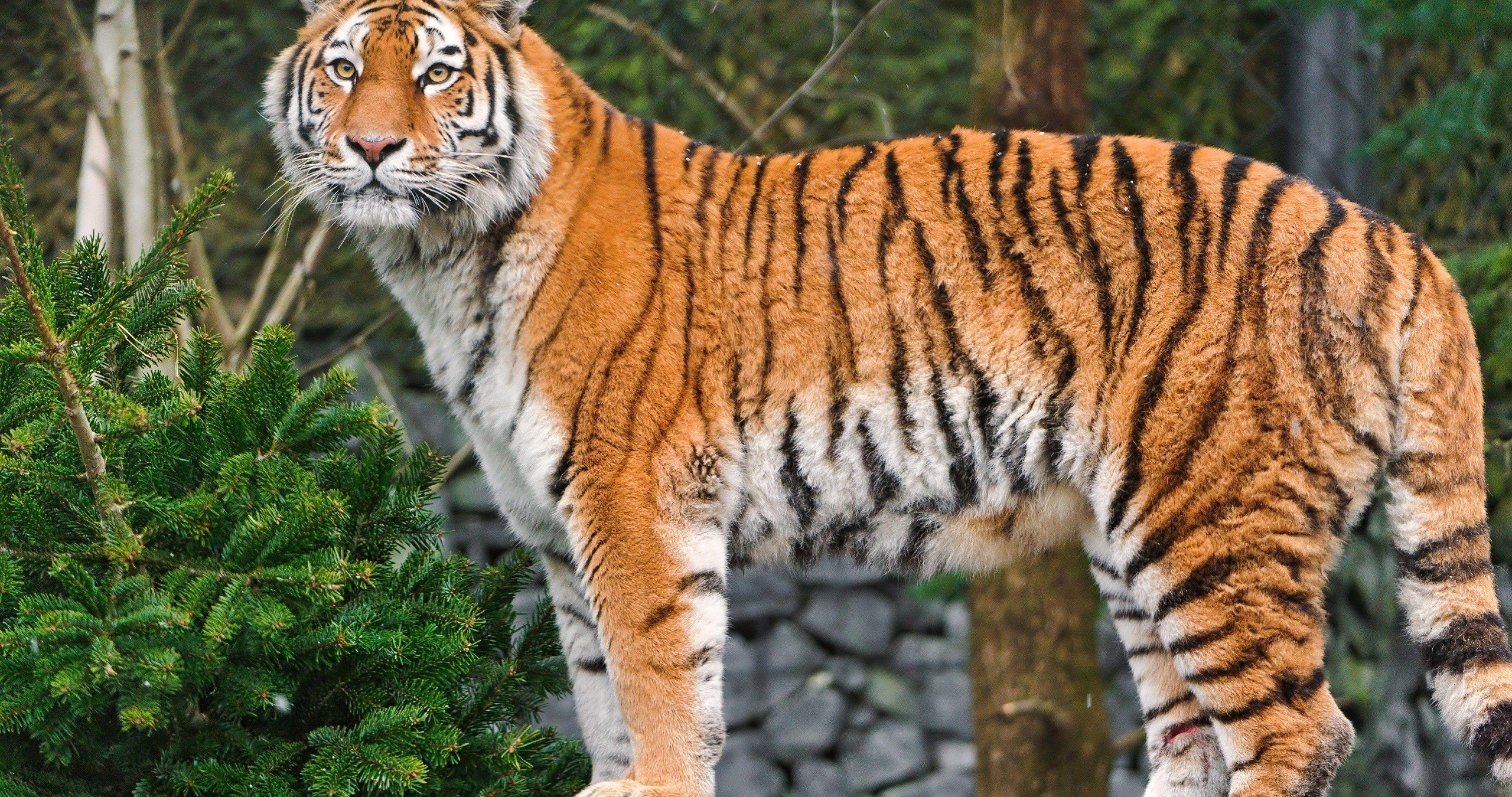 Amazing Tiger Wallpaper Hd 4k Ultra Hd Wallpaper Tiger Wallpaper Animals For Kids Tiger