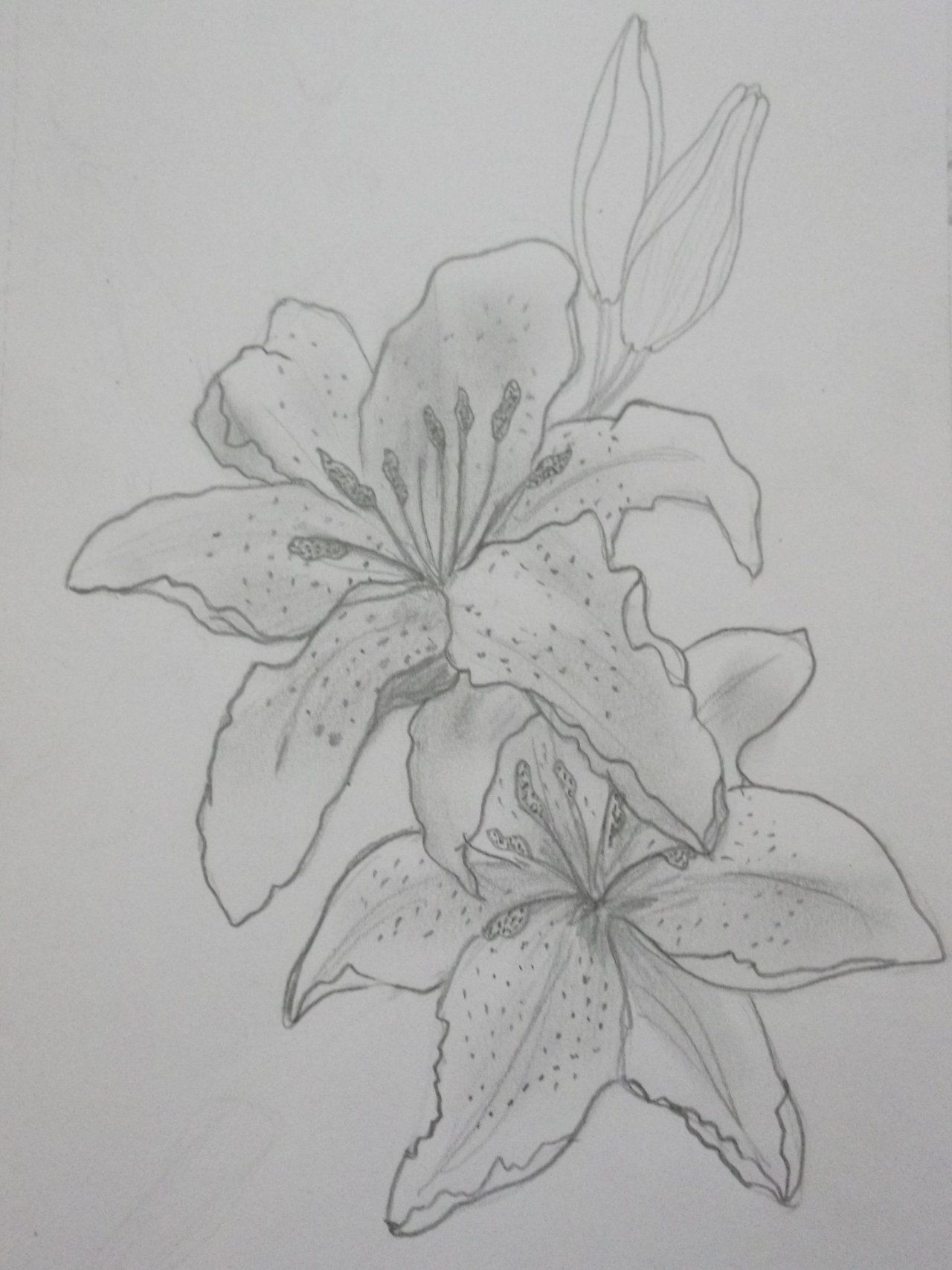 Lily Flower Tattoo Drawing Tiger Lily Flower Drawing1280 X 1707