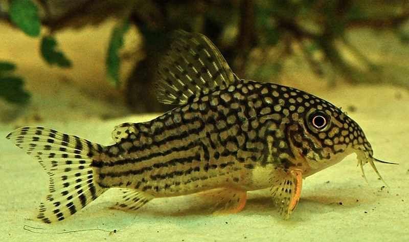Sterba S Corydoras Corydoras Sterbai Betta Tank Mates Betta Fish Fish