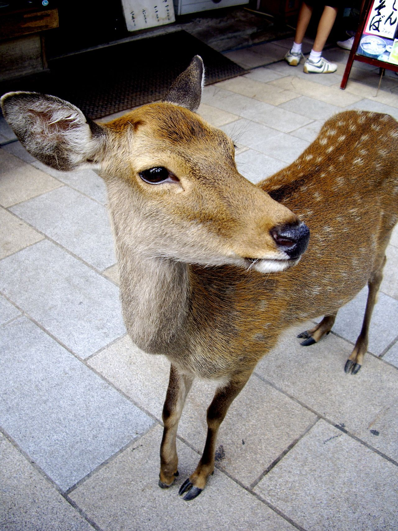 My Deer friend @ Nara, Japan.