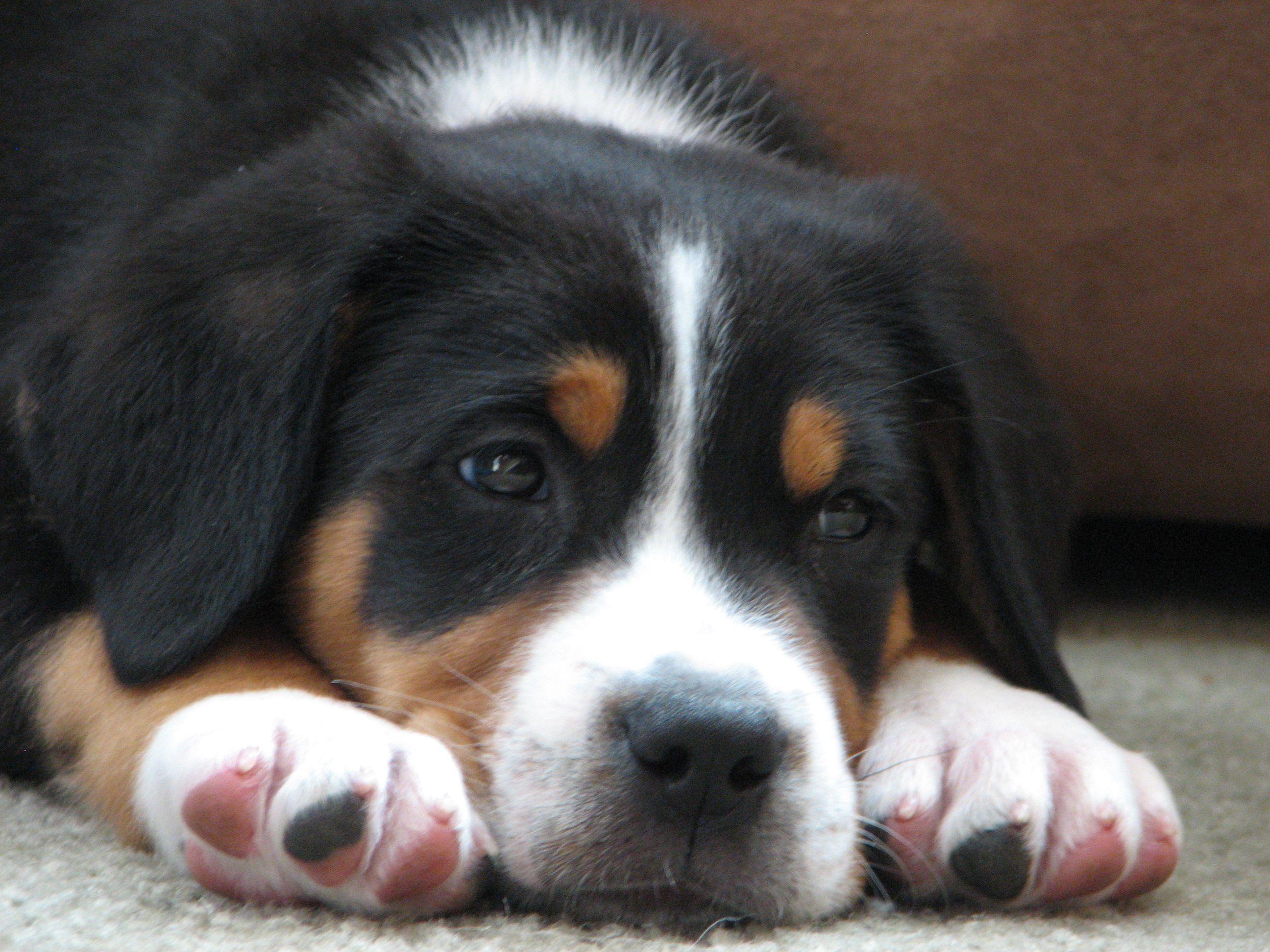 Swissy puppy. Love him. | Puppies, Swiss mountain dogs ...