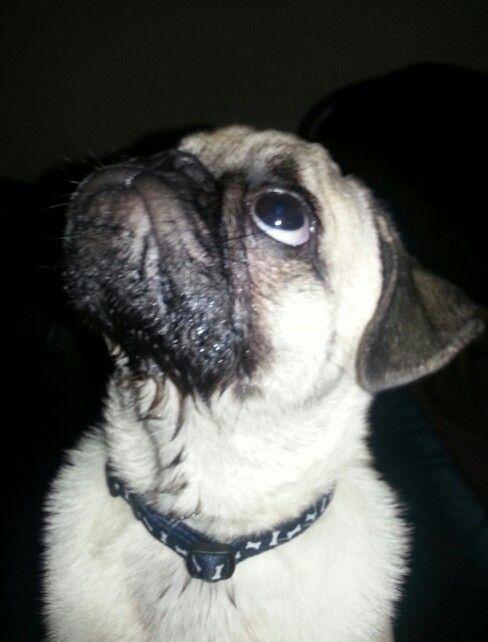 Loki Wet Cry Face Pugs Dogs Face