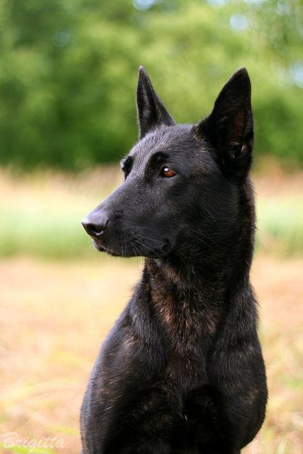 Hera Dutch Shepherd Dog Dogs Malinois Dog