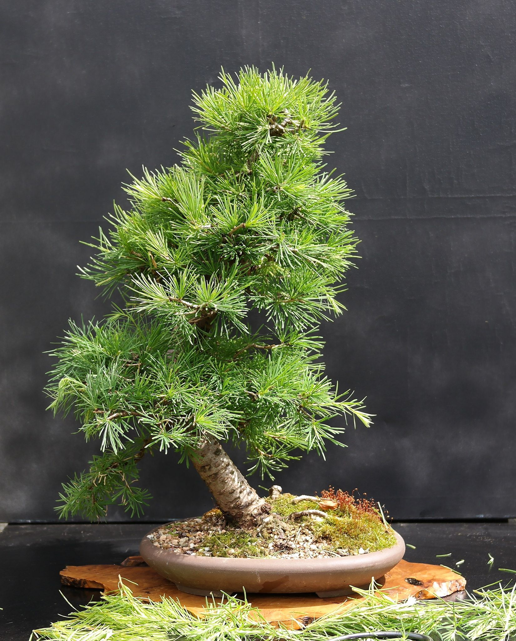 How to start a bonsai tree the diy blog bonsai for Bonsai pflanzen