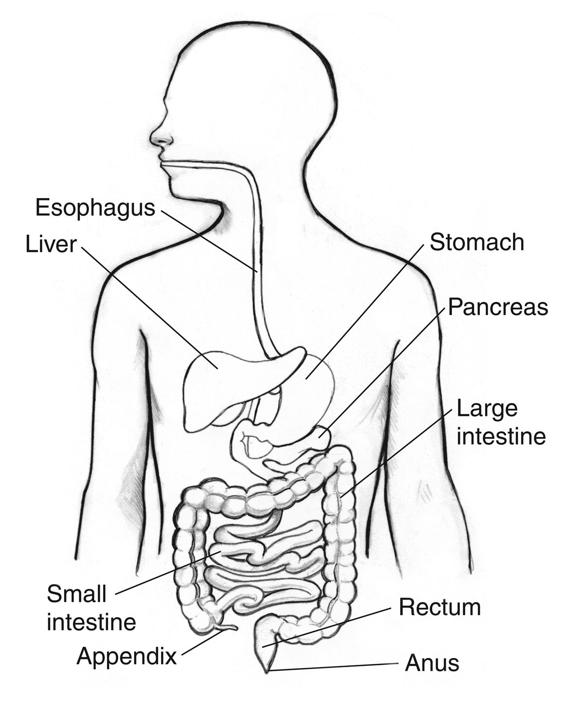 diagram of abdominal