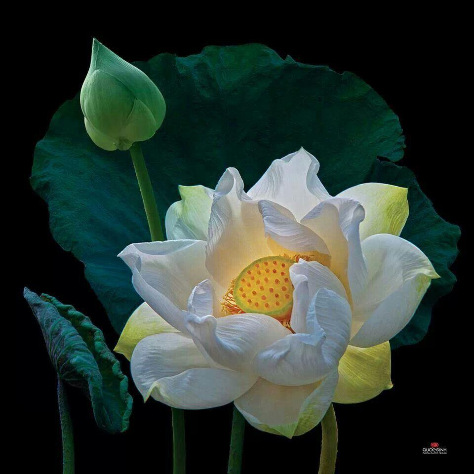 Beautiful lotus pinterest lotus flowers and flower beautiful lotus izmirmasajfo