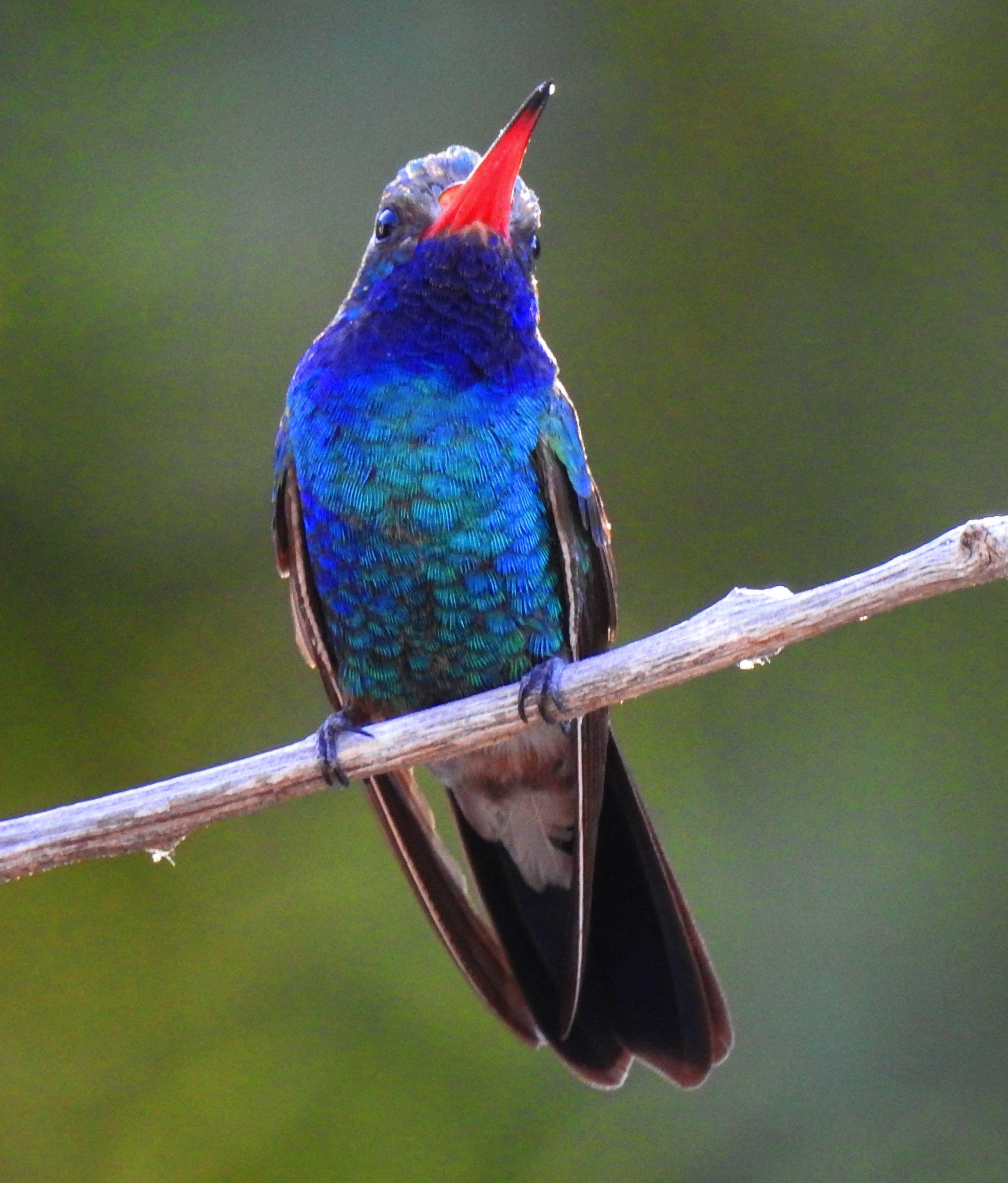 Broad-Billed Hummingbird-5- (13)
