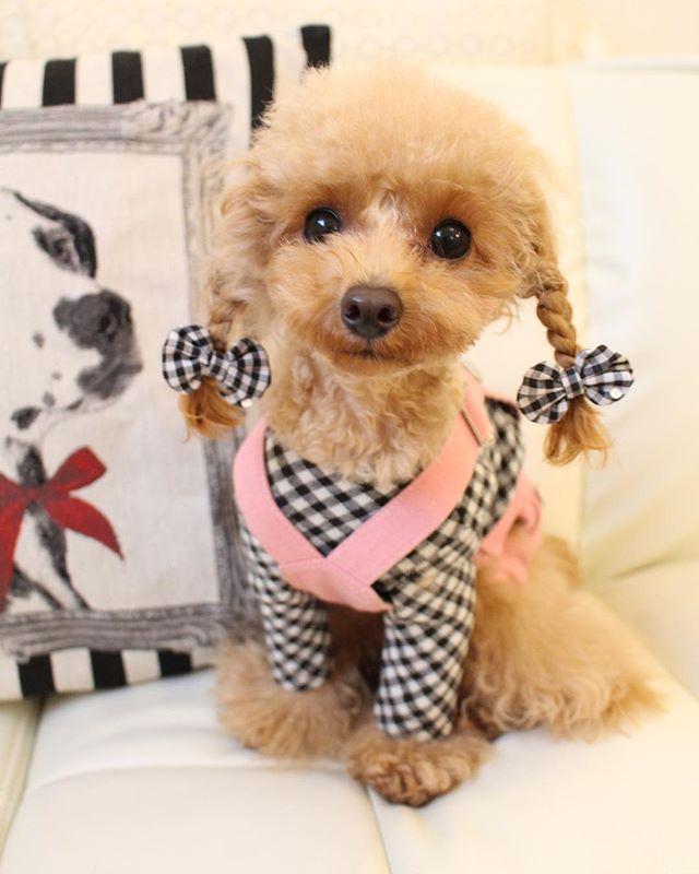 くれあ lonyo loyyo ティーカッププードル トイプードル プードル 犬 Dog ワンコ 愛犬 ワンコなしでは生きていけません 犬バカ 犬バカ部 Teacuppoodle Toypoodle Poodle ふ 可愛い犬 可愛い赤ちゃん 犬