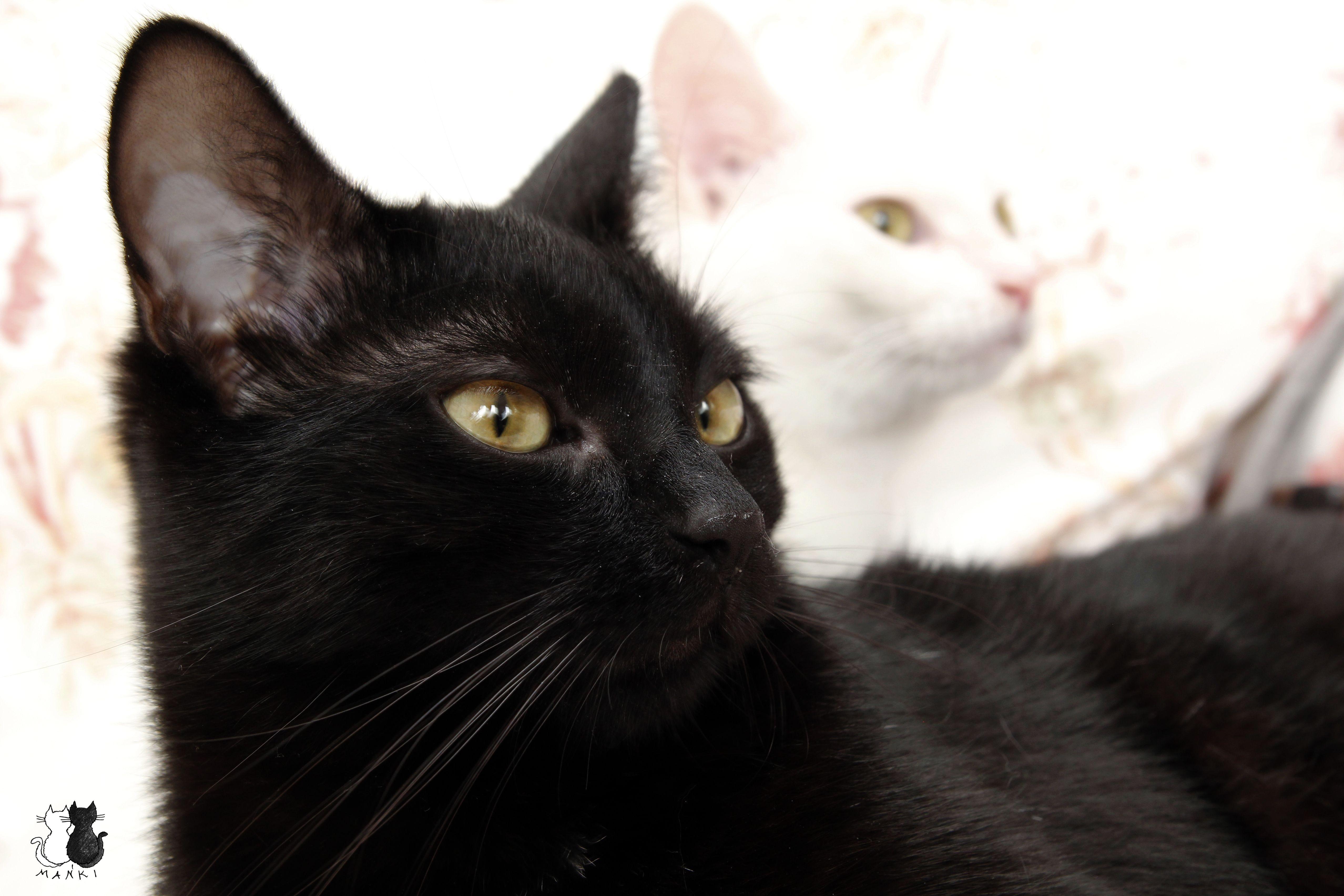 #Maniek #mańki #manki #cats #caturday #neko #cat #lovemycats #blackcats #koty #catseverywhere #cute #love  #fluffy #marcelka #whitcats #catstagram #instacats