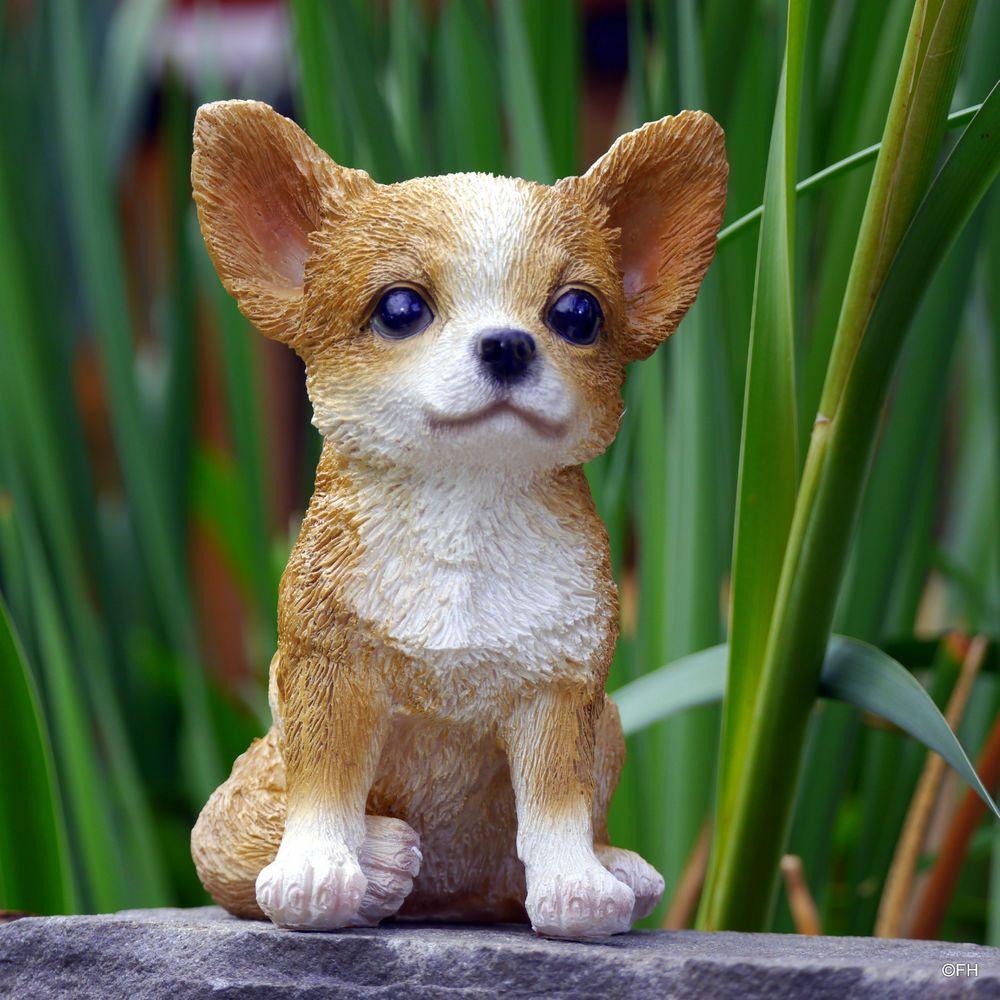 Chihuahua Baby Chihuahua welpen