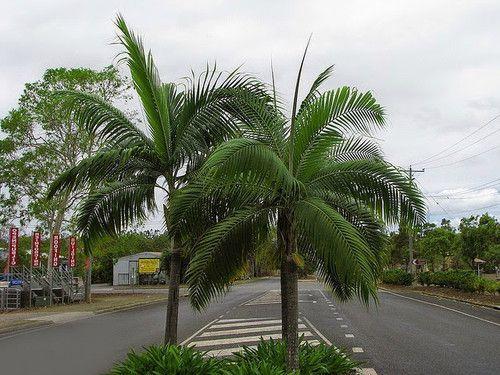 Hurricane Palm 10 Seeds Dictospermum Album Var Rubrum Palm Tree Types Palm Tropical Landscaping